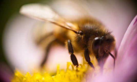 Les députés doivent se prononcer sur l'interdiction des insecticides tueurs d'abeilles.
