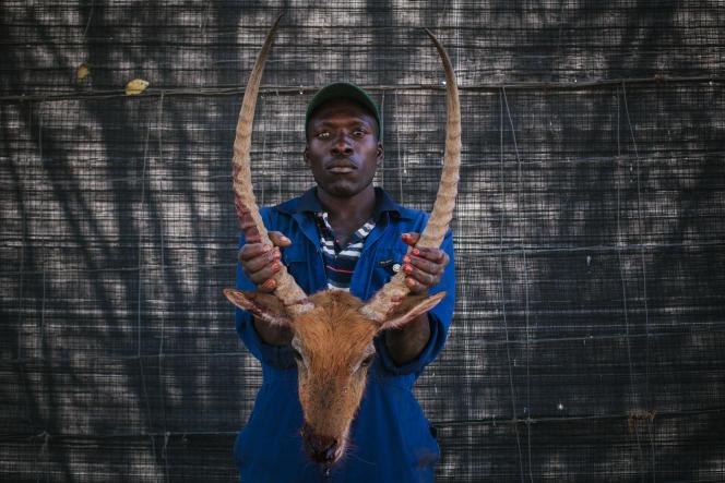 5 - L'employé d'une réserve tient la tête d'un cobe de Lechwe abattu car suspecté d'avoir été infecté de tuberculose bovine.