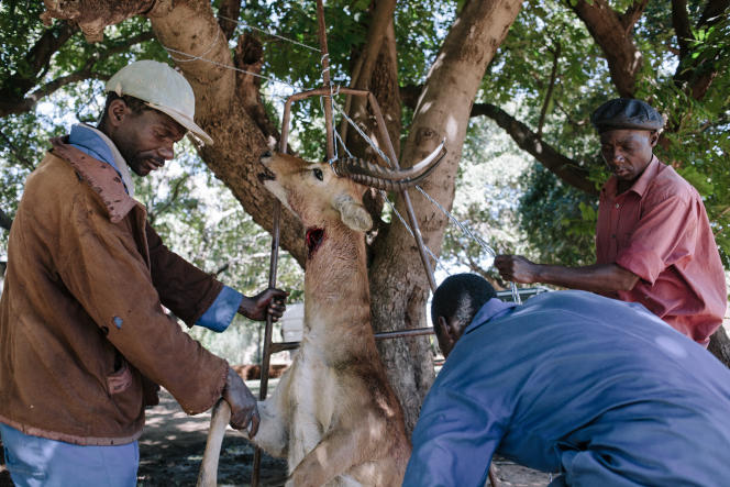 11 - Des employés de ferme se préparent à pendre et dépouiller un imposant Puku, une variété d'antilope endémique, fréquemment victime de braconnage.