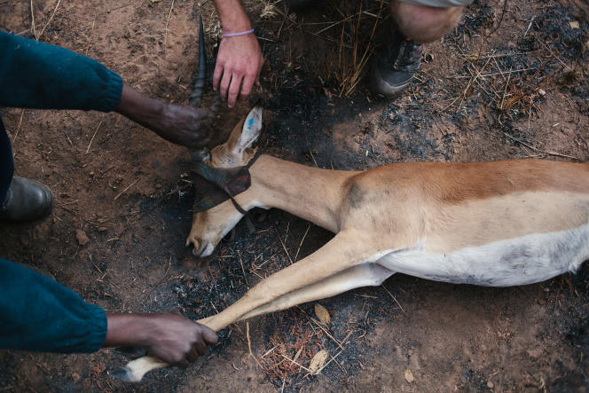 9 - Un vétérinaire inspecte un jeune impala mâle qui vient d'être capturé.