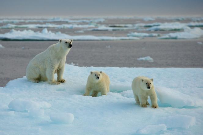 Ourse et oursons polaires.