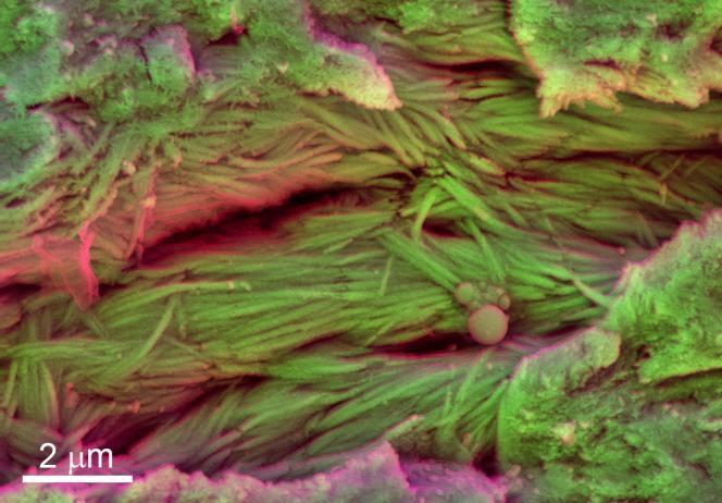 Vue en microscopie électronique de fibres minéralisées observées sur une côte de dinosaure d'espèce indéterminée.