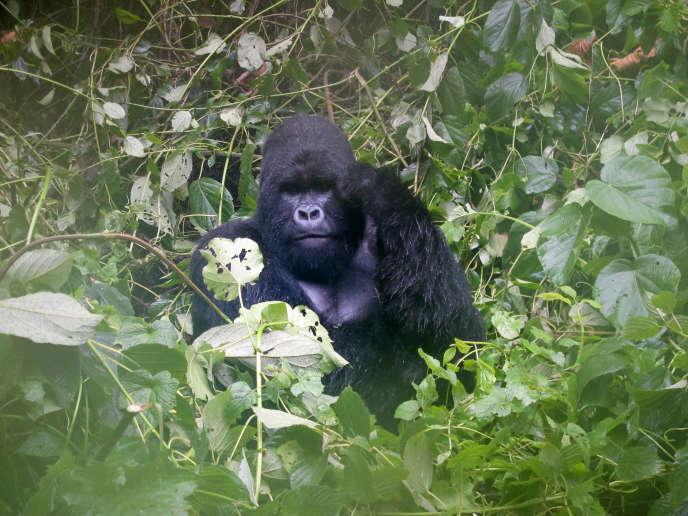 Un gorille des montagnes dans le Parc national des Virunga, enavril2014.