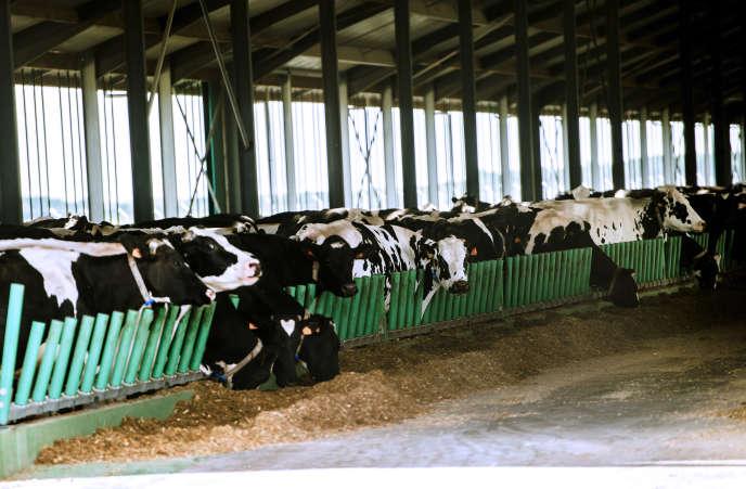 Des vaches laitières de la « ferme des 1000vaches», à Drucat, dans la Somme.