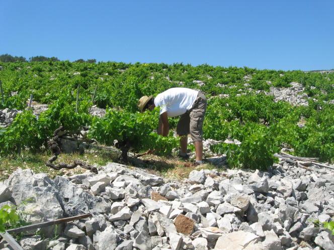 Dans des vignes de Babic, en Croatie.