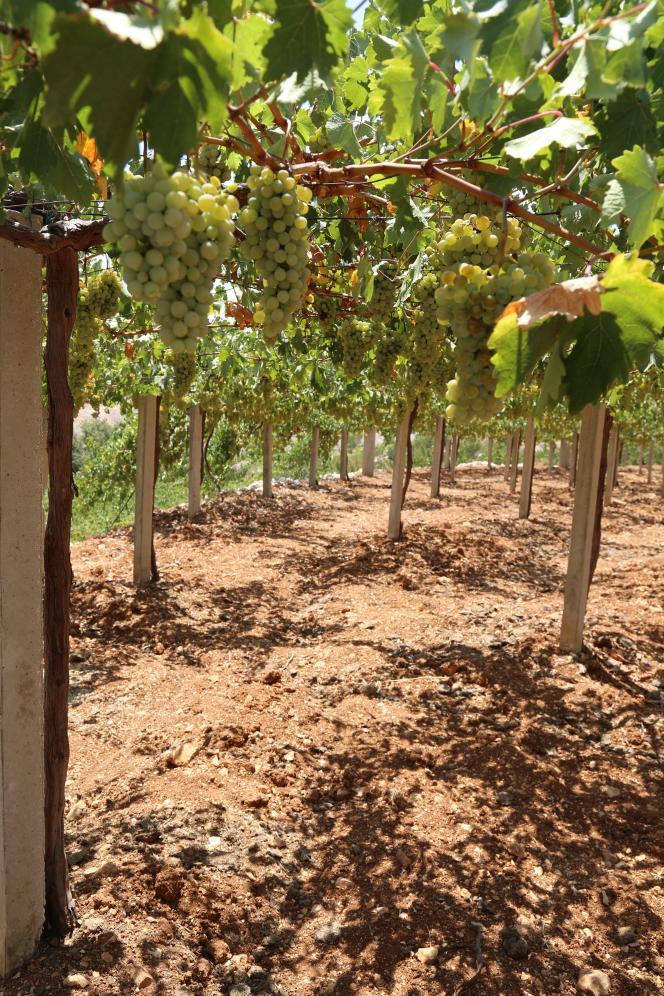 Cépages obeidy dans la plaine de la Bekaa, au Liban.