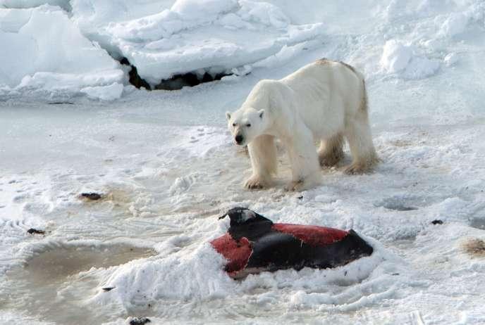 Selon les chercheurs, le recul prononcé de la glace marine, voire sa quasi-absence, dans la région au cours des hivers derniers a pu attirer les cétacés.