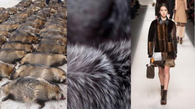 Ratons laveurs dans une ferme de fourrure, fourrure, collection Automne/hiver 2015 de Fendi.