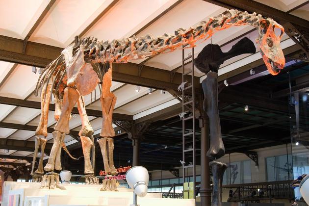 Un squelette de diplodocus, l'un des plus grands dinosaures ayant existé, dans la galerie des dinosaures de l'Institut royal des sciences naturelles de Belgique.