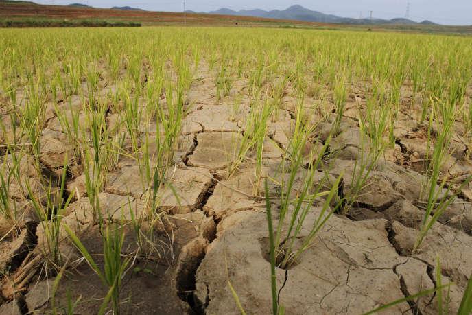 En raison de la sécheresse en Corée du Nord,les rations alimentaires ont été réduites de 400 grammes d'équivalents céréales à 300 g par jour.