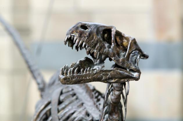 Un squelette de Dromaeosaurus Albertensis dans la salle 21 de la galerie des dinosaures du National History Museum.
