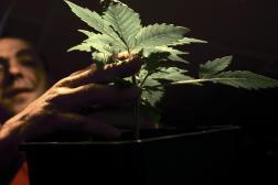 La prohibition n'empêche pas les Français d'être les plus gros consommateurs de cannabis d'Europe.