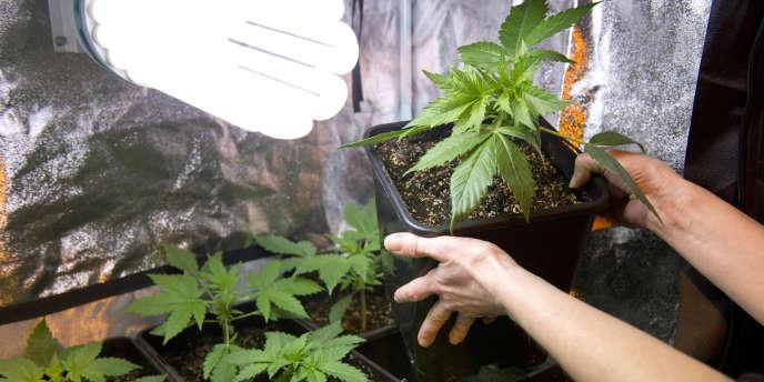Plan de cannabis.