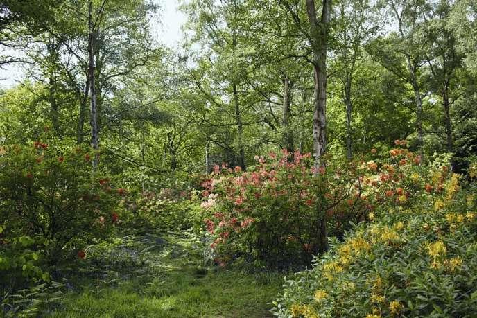 Massif de rhododendrons.