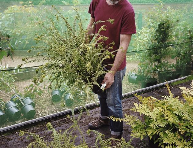 Un nouveau plant de fougère vient rejoindre la collection, issue de voyages dans le monde entier, chez Pan-Global Plants.