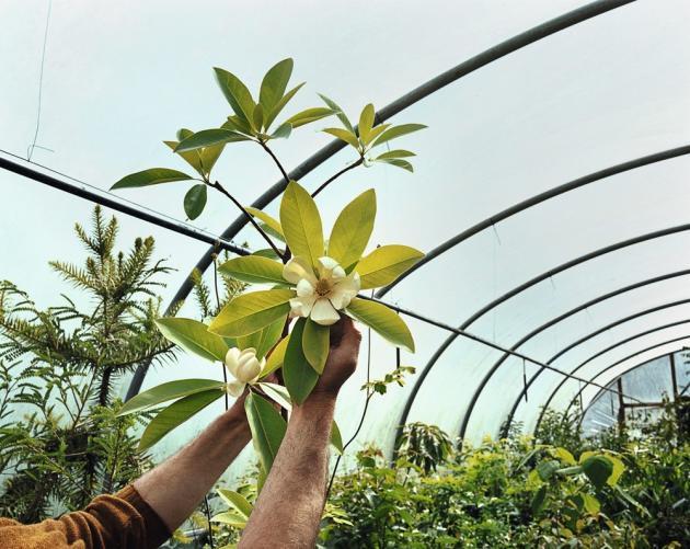 Les variétés rares de Pan-Global Plants attirent de nombreux curieux et passionnés. Parmi celles-ci, la Magnolia x wieseneri, très parfumée, une des nombreuses variétés de magnolia présentes à la pépinière.