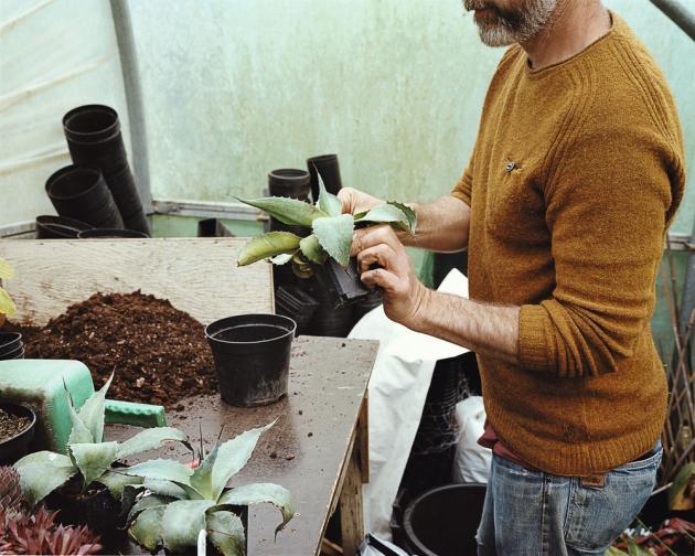 Nick Macer rempote un jeune agave.