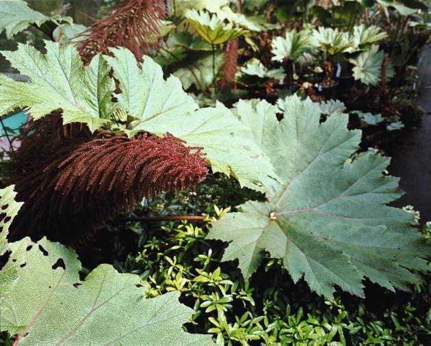 Cette variété de Gunnera, qui présente des veinures rouges spécifiques, a été recueillie récemment lors  d'un voyage en Colombie. Elle a rejoint la pépinière de Bleddyn et Sue Wynn-Jones à Crûg Farm, au Pays de Galles, où elle est désormais cultivée pour la vente.