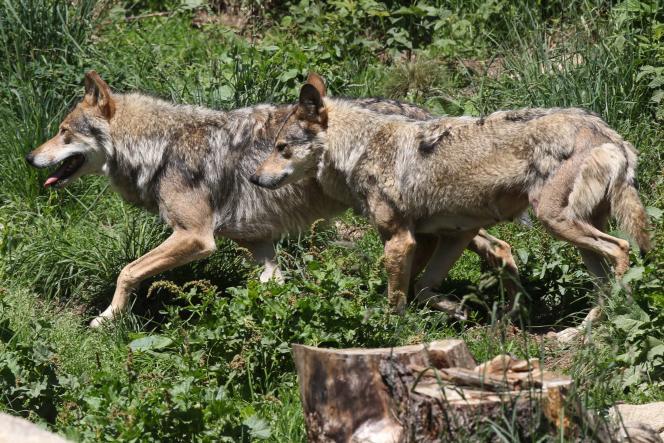 Des loups gris photographiés en juin dans le parc des Angles, dans les Pyrénées.