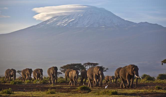 L'éléphant d'Afrique a vu ses effectifs chuter de plus d'un tiers entre 2007 et 2014, pour atteindre 415 000 individus.