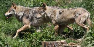 Des loups dans le parc animalier des Angles (Pyrénées-Orientales) en 2015.