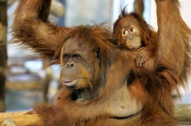 L'orang-outan (Pongo pygmaeus) est classé comme espèce en danger critique d'extinction dans la liste rouge de l'Union internationale de la conservation de la nature.  Il ne reste plus que 6 500 orangs-outans à Sumatra et 60 000 à Bornéo.