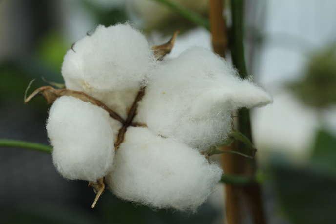 Le gouvernement égyptien a jugé préférable de cesser tout soutien à la culture de coton. De quoi inciter les agriculteurs du delta du Nil à planter des céréales plus rémunératrices.