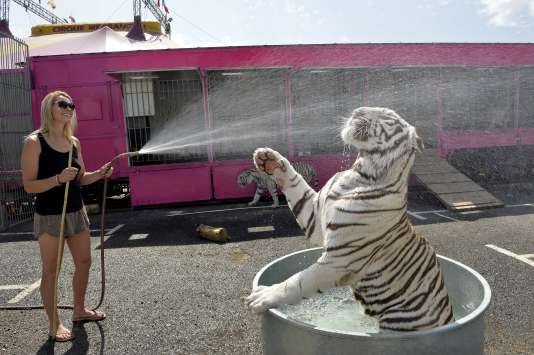 Un tigre blanc du cirque Medrano à Limoges, le 3 juillet 2015.