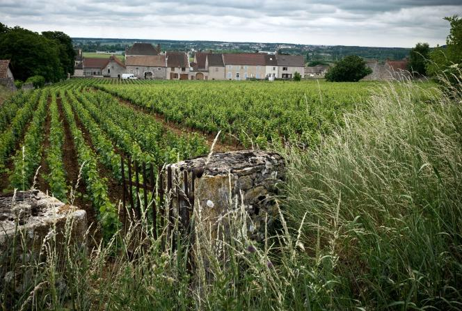 Vignobles à Chassagne-Montrachet, en Bourgogne.