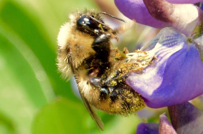Bourdon couvert de pollen dans la corolle d'un lupin.