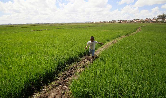 Dans une rizière de Madagascar, en 2013.