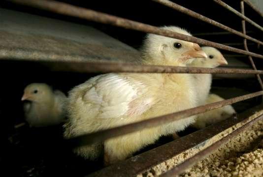 Chaque année, 50 millions de poussins sont broyés dans les couvoirs en France.