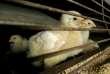 Un foyer de grippe aviaire hautement pathogène H5N8 a été détexté dans le Nord.
