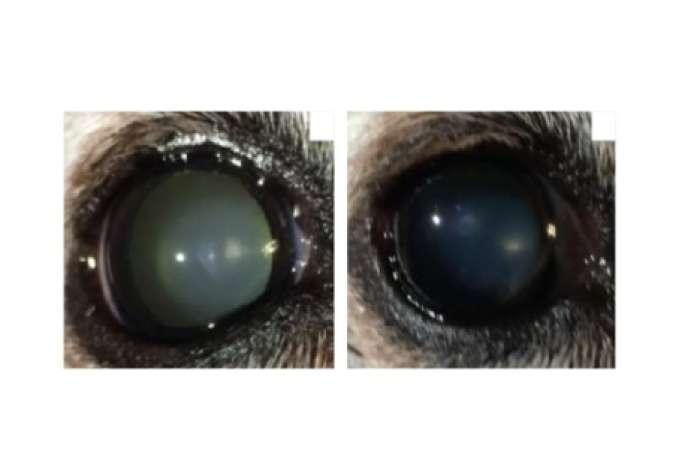 Oeil d'un chien atteint de cataracte avant (à gauche) et après traitement par un collyre à base de lanostérol : l'opacification du cristallin est réduite.
