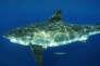 Le grand requin est l'une des créatures les plus redoutables du règne animal .