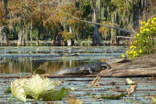 Un alligator dans une réserve naturelle du bayou.