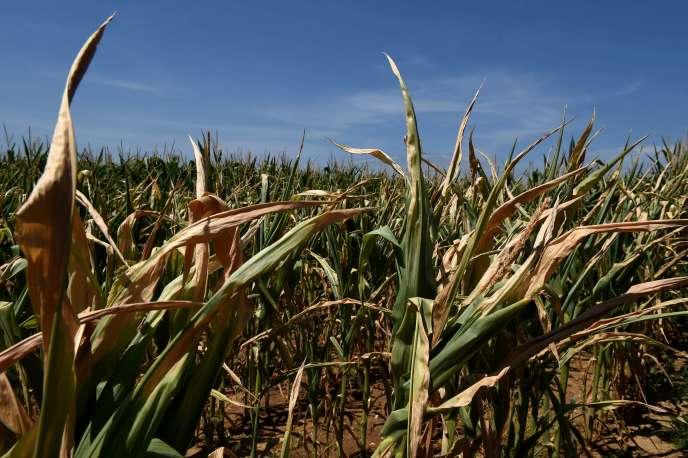 Un champ de maïs à Saint-Bonnet-de-Mure près de Lyon le 16 juillet 2015.