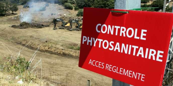 Soixante-dix-huit foyers de « Xylella fastidiosa » ont été découverts en Corse depuis le 22 juillet.