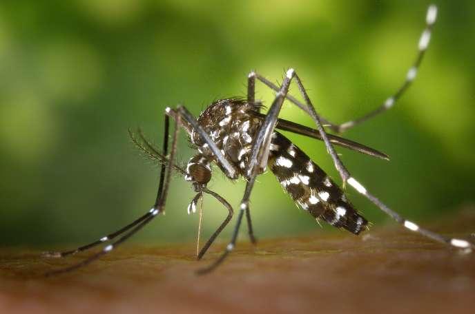Un moustique-tigre.