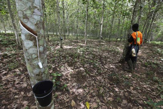 Une exploitation d'hévéas en Côte d'Ivoire. Le groupe Bolloré est également actionnaire de la Socapalm, qui exploite ces arbres au Cameroun.