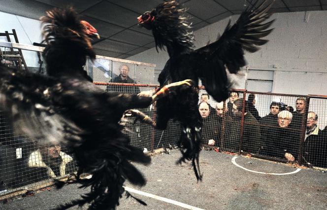 En France, les combats de coqs sont autorisés seulement là où la tradition est ancrée (Nord - Pas-de-Calais, la Réunion, la Guyane, les Antilles et la Polynésie).