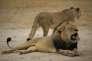 Cecil le lion en octobre 2012.