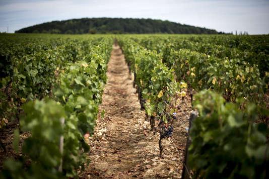 Les rangées de vignes verdoyantes sont trompeuses.
