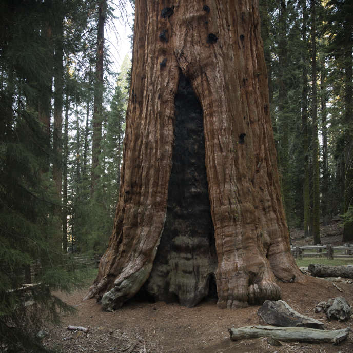 General Sherman , le plus grand arbre connu dans le