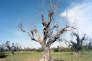 """Un olivier atteint par la bacterie """"Xylella fastidiosa"""" près de Bari dans la région des Pouilles (Italie), le 7 juillet 2015."""