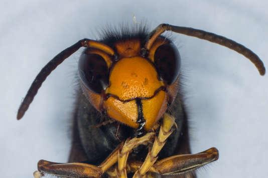 """Un frelon asiatique – """"Vespa Velutina"""" – étudié à l'Institut de recherche sur la biologie de l'insecte de Tours, en septembre 2014."""
