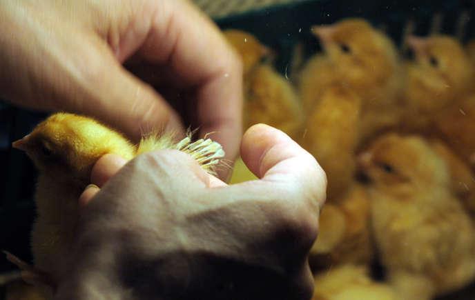 Des poussins examinés dans un élevage en Alsace, en juillet 2010.