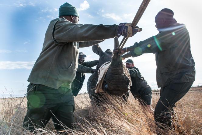 Des membres des services vétérinaires du parc national Kruger en Afrique du Sud guident un rhinocéros sous sédation jusqu'à un camion pour le transporter.