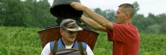 Un vendangeur vide les grappes de raisins dans la caisse d'un ramasseur le 06  septembre 1999, lors du ban des vendanges à Lancié (Beaujolais) pour la cuvée de l'an 2000 qui s'annonce prometteuse.              (IMAGE ELECTRONIQUE).