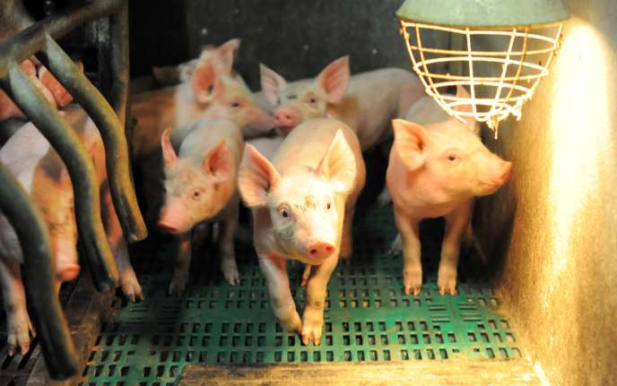 Un élevage de porcs, à Plonéour-Lanvern (Finistère), en 2015.